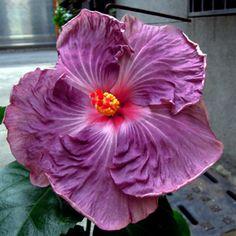 Hibiscus 'Purple Diamond'