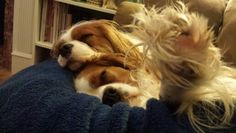 William and Harry snuggling-cavalier spaniels