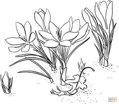 Realistic Flower Coloring Pages | Realistic Drawing Of Daffodil ...