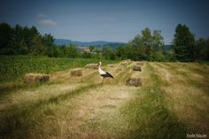 Photograph Stork by Vasile Valcan Country Roads, Storks, Photography, Animals, Posts, Photograph, Animales, Messages, Animaux
