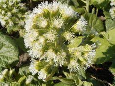 Devětsil bílý  (Petasites albus) hvězdnicovité  (Asteraceae)