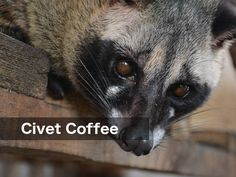 Exotic Coffee Beans refer to coffee that has been processed in some way by animals and then made into drinking coffee. This changes the flavor of the coffee Coffee Type, Black Coffee, Types Of Coffee Beans, Coffee Drinks, Exotic, Animals, Animales, Animaux, Animal