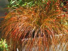 3 New Zealand Orange Sedge in 2 Litre large pots.