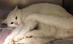 Navi is a pretty cat with a short white coat and a sweet face. She came to the shelter with her sister Zora, another white female available for adoption. Theyre 2 years old and bound to be wonderful lap cats! Visit them today at the Dearborn Animal Shelter. Adopt a cat, adoptable cat, cat for adoption