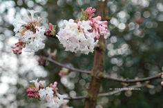 Viburnum bodnantense 'Charles Lamont', bloemen op kaal hout in april.