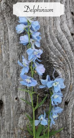 Light Blue Delphinium - Delphinium symbolizes big-heartedness, fun, lightness and levity. It also indicates ardent attachment.