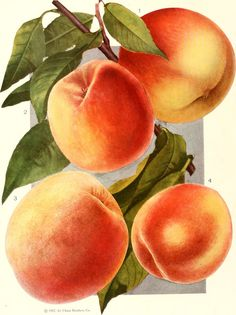"""Image from page 33 of """"Chase fruit and fowers in natural colors;"""" (1922) 