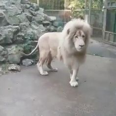 Lion spooked by a bubble [GIF]