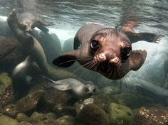 Picture of sea lions underwater in the Galapagos Islands. Photograph by Sandro Lonardi, National Geographic Your Shot.