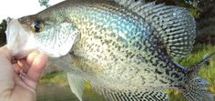 Crappie fishing tips techniques tricks and baits