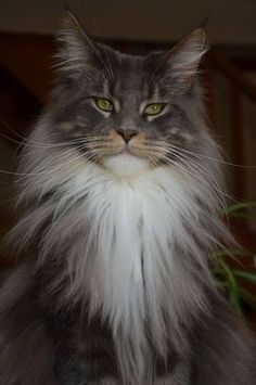 Maine Coon http://www.mainecoonguide.com/male-vs-female-maine-coons/