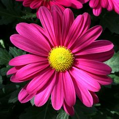 Pink Gerbera Daisy-my favorite, these are so pretty! Daisy Bridal Bouquet, Daisy Wedding, Pink Gerbera, Pink Daisy, Butterfly Flowers, My Flower, Tattoo Flowers, Flower Power, Happy Flowers
