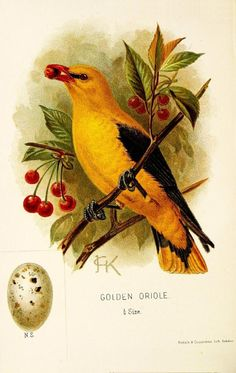 Golden Oriole. A chapter on birds : rare British birds London :E. & J.B. Young,1895. Biodiversitylibrary. Biodivlibrary. BHL. Biodiversity Heritage Library