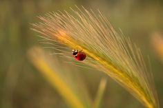 Mariquita - Coccinellidae - Wikipedia, la enciclopedia libre