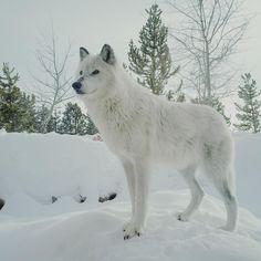 Wild Animals, Cute Animals, Wolf World, Snow Wolf, White Wolves, Wolf Husky, Wolf Pictures, Golden Eyes, Wild Dogs