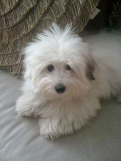 Coton du Tulear. I think this is the way to go for me.