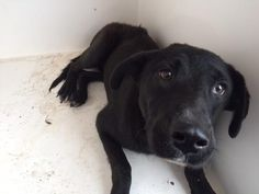 05/16/16--HOUSTON- -EXTREMELY HIGH KILL FACILITY - This DOG - ID#A459102 I am a female, black Flat-Coated Retriever mix. The shelter staff think I am about 1 year old. I have been at the shelter since May 16, 2016. This information was refreshed 34 minutes ago and may not represent all of the animals at the Harris County Public Health and Environmental Services.
