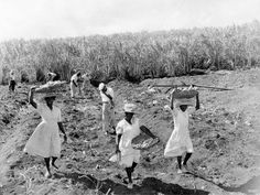 Sugarcane being planted on a hillside in Barbados in 1955.  http://www.nationalarchives.gov.uk/cabinetpapers/themes/west-indies.htm