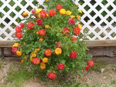 Pinata Climbing Rose Climbing Pinata Rose Cool Yard