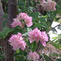 double-petal peach-pink bougainvilleas...