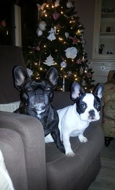 Nena en Dana's kerst, French Bulldogs at Christmas