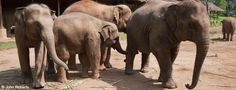 Asian elephants are capable of remarkable cooperation and intelligence when faced with complex tasks. But no matter how clever they are, they can't solve the problem of their endangered status without your help.