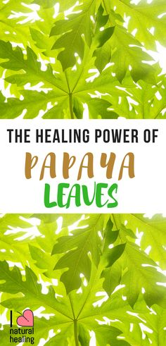 I don't think a lot of people know enough about this wonderful plant called Papaya. Today I would love to share this awesome video created by Dr. He explains the amazing healing quality of Papaya leaves. Papaya leaves offer so many great heal Natural Health Tips, Natural Cures, Natural Healing, Healing Herbs, Medicinal Plants, Natural Medicine, Herbal Medicine, Herbal Remedies, Health Remedies