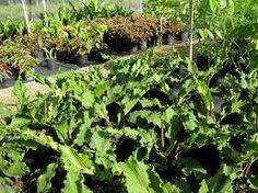 Anthurium plowmanii   http://www.fairchildgarden.org/livingcollections/plantsaleinformationpages/2008membersdayplantsale/