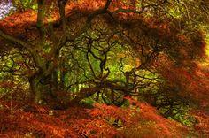 Acer palmatum / Erables du Japon