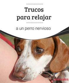 Trucos para relajar a un perro nervioso Calmar a un perro nervioso no es tarea fácil, sin embargo con unos sencillos trucos podremos logarlo. Aquí te dejamos algunos. #relajación #perro #nervios #adiestramiento