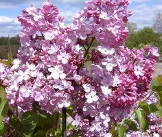 Syringa x hyacinthiflora 'Maiden's Blush' Syringa Vulgaris, Lilac Flowers, Dream Garden, Ferns, Evergreen, Outdoor Gardens, Blush, Nursery, Plants