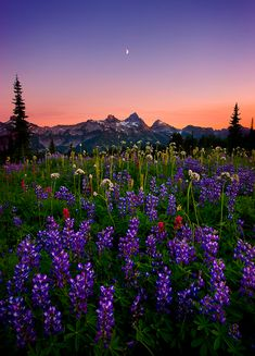 Lush fields of wildflowers stretch on toward the mountain peaks of the Tatoosh Range at twilight. Rainier National Park, Washington State