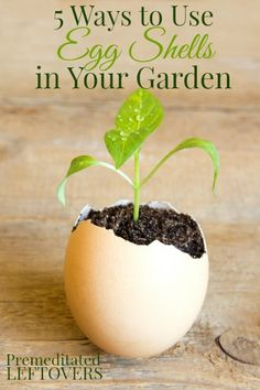 5 Ways to Use Egg Shells in Your Garden #gardening #gardentips #dan330 http://livedan330.com/2015/02/28/5-ways-to-use-egg-shells-in-your-garden/