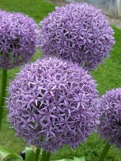 allium. I see these here it Italy and they are so pretty. Something out of a Dr.Suess book/movie. They get pretty tall too:)