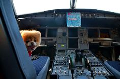 He's proving to be paw-fect for the role as 'Official Pet Liaison', with the airline receiving an outpouring of praise on its Facebook page after it posted photos of Boo and his friend Buddy taken at San Francisco Airport.  The pair took to the airport to meet and greet staff and they soaked up the attention; they were even allowed into the cockpit of a plane!
