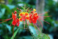 Come monsoon, Peacock flower(Guletura) is in bloom adding colours to the greenery around. Pride Of Barbados, Monsoon, Greenery, Peacock, Bloom, Gardening, Colours, Plants, Flowers