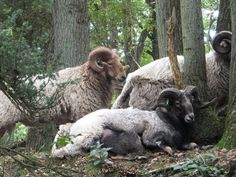 Kampsheide rams, drenthe heath sheep | Flickr - Photo Sharing!
