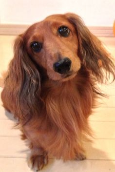 ❤️ looks just like my Fritzi! I miss you, my little Prince!  Long hair doxie.