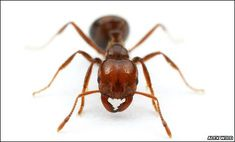 School of Ants. Goal: Help researchers learn about native and introduced urban ants. Task: Collect and mail in ants. Queen Ant, Ant Colony, Fire Ants, Citizen Science, Science Fair, Animal Anatomy, Earth News, Bugs And Insects, The Incredibles
