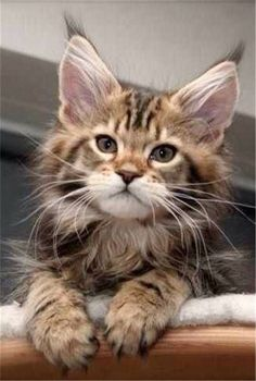 If you're looking for Free Maine Coon Kittens for adoption we've written some tips on how to find Free Maine Coon Cats and where to look for them. Cute Cats And Kittens, I Love Cats, Crazy Cats, Cool Cats, Kittens Cutest, Fluffy Kittens, Pretty Cats, Beautiful Cats, Animals Beautiful
