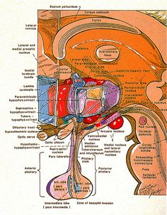 The Hypothalamus. How important it is to eat foods that doesn't build up toxic plack in our arteries and lymph nodes. Nerve Anatomy, Brain Anatomy, Medical Anatomy, Human Anatomy And Physiology, Neurological System, Endocrine System, Animal Cell Project, Doctor Of Nursing Practice, Cranial Nerves