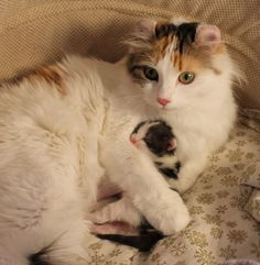 .American Curl Kittens For Sale Cats Picture - #americancurl #catbreeds #typesofcats - More Cat Breeds at Catsincare.com!.