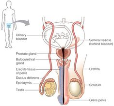Female Reproductive System Anatomy, Ap 12, Lpn Nursing, Medical Laboratory Science, School Organization Notes, Human Body Anatomy, Samsung Galaxy Wallpaper, Medical Facts, Body Systems