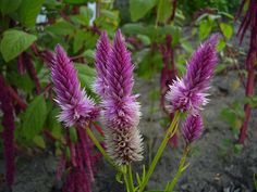Would love to see this in terra cotta! Wheat celosia comes in shades of pink/purple and a pretty terra cotta. Fall Wedding Flowers, Fall Flowers, Autumn Wedding, Flowers Perennials, Planting Flowers, Flower Gardening, September Flowers, Fall Arrangements, Organic Seeds