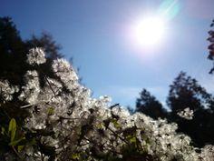 ボタンヅル(牡丹蔓) Clematis apiifolia