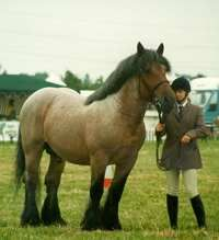 Ardennes horses.