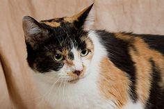 Savannah-an-adoptable-cat-in-Illinois
