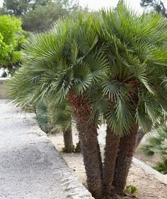 Chinese Palm These Make For Slow Growing But Striking