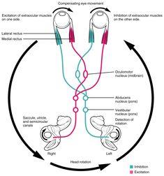 The Vestibular System and EOMs Part 2 Vestibulo-Ocular_Reflex Eye Anatomy, Brain Anatomy, Medical Anatomy, Human Anatomy And Physiology, Muscle Anatomy, Gross Anatomy, Vestibular System, Eye Facts, Vision Therapy