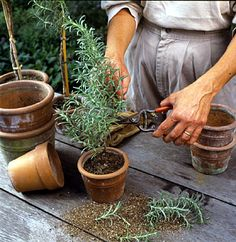 Make Your Own Rosemary Topiary